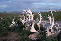 Tuktoyaktuk, NWT, Northwest Territories, Artic Canada - Reindeer / Woodland Caribou (Rangifer tarandus) Heads, with Attached Antlers