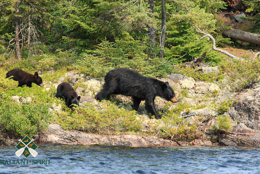 """""""Black Bear and Cubs""""<br /> <br /> I saw this Black Bear family on three separate occasions as they foraged for the abundant blueberries on the shores of Saganagons Lake in Quetico.<br /> ~ Day 123 of Inspired by Wilderness: A Four Season Solo Canoe Journey"""