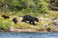 """Black Bear and Cubs""<br />