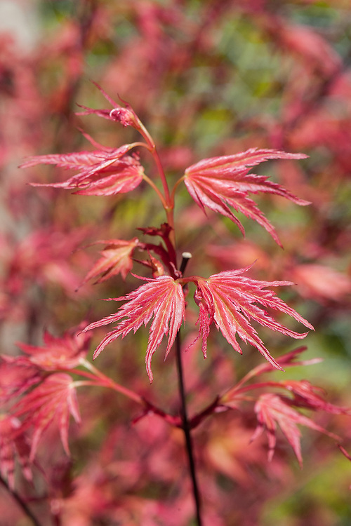 Acer palmatum 'Chi Otome', late april.