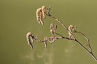 Zwarte els (Alnus glutinosa), stuivende katjes