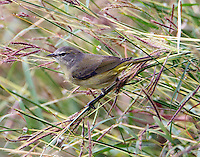 Orange-crowned warbler feeding on grass seeds