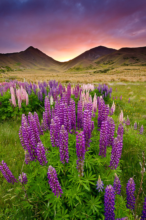 Flowering lupins along the roadside of SH8 through the Lindis Pass at sunset, summer, Central Otago, South Island