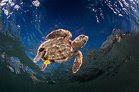hawksbill sea turtle, Eretmochelys imbricata, hatchling, with juvenile jack, Turneffe Atoll, Belize Barrier Reef, Belize, Caribbean Sea, Atlantic Ocean