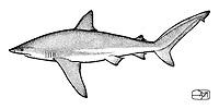 Bignose Shark