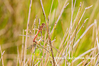 06666-00503 Autumn Meadowhawk (Sympetrum vicinum) male & female copulating in wetland Marion Co. IL