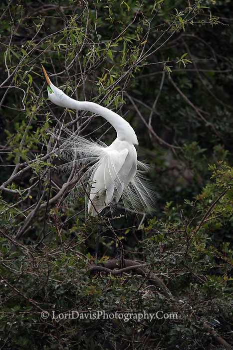 Great Egret Performing Mating Dance  #E23