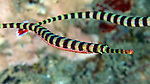 Doryrhamphus dactyliophorus, Ringed pipefish, Indonesia Dunckerocampus dactyliophorus, Ringed pipefish, Indonesia