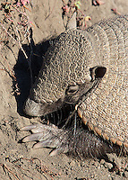 This species of armadillo sports large claws that are useful for digging.