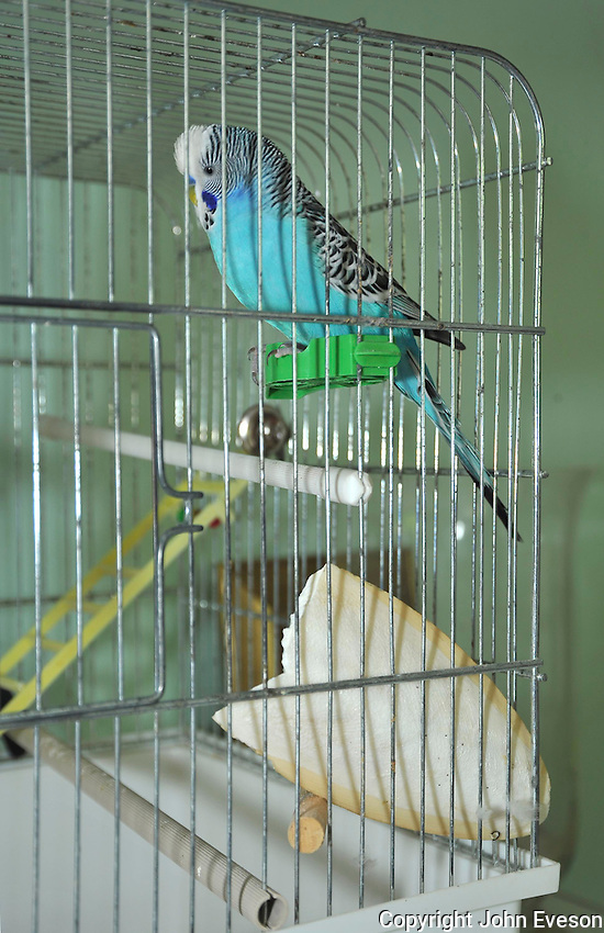Blue Budgerigar (Melopsittacus undulatus) in cage with cuttlefish...Copyright..John Eveson, Dinkling Green Farm, Whitewell, Clitheroe, Lancashire. BB7 3BN.01995 61280. 07973 482705.j.r.eveson@btinternet.com.www.johneveson.com