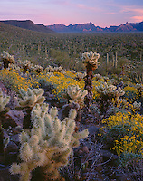 Organ Pipe Cactus National Monument, AZ:Cholla cactus and brittlebush on a Sonoran desert hillside with the Ajo range in the distance
