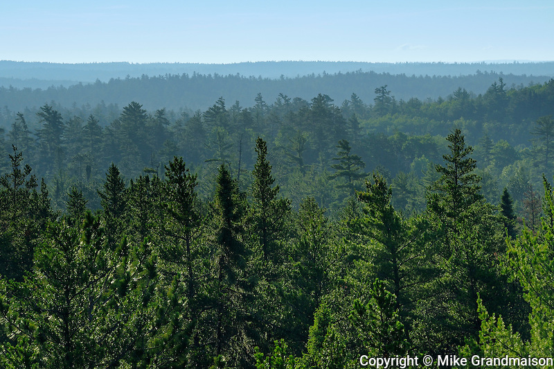Old growth pine trees in White Bear Forest<br /> Temagami<br /> Ontario<br /> Canada