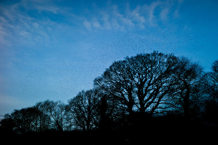 A murmuration of starlings, numbering well over a million birds, flock together to roost at dusk on the Avalon Marshes at Shapwick Heath Nature Reserve in Somerset. Photograph by Tim Graham