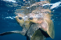 olive ridley sea turtles, mating, Lepidochelys olivacea, Costa Rica, Pacific Ocean