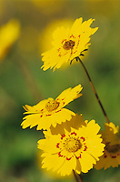 Coreopsis, Coreopsis tinctoria, blooming, Willacy County, Rio Grande Valley, Texas, USA, April 2004