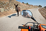 Donkey in the road from the quad runner, Folegandros, Cyclades, Greece