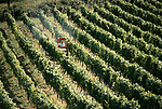 'WINE IN ENGLAND, SOMERSET', MAJOR GILLISPIE SPRAYING VINES AT NORTH WOOTTON VINEYARD, 1989