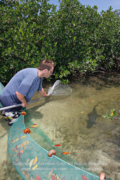 qa70666-D. marine biologist Tristan Guttridge (model released) from Bimini Biological Field Station working in the mangroves to net a young Lemon Shark (Negaprion brevirostris) to be measured. Bahamas, Atlantic Ocean..Photo Copyright © Brandon Cole. All rights reserved worldwide.  www.brandoncole.com..This photo is NOT free. It is NOT in the public domain. This photo is a Copyrighted Work, registered with the US Copyright Office. .Rights to reproduction of photograph granted only upon payment in full of agreed upon licensing fee. Any use of this photo prior to such payment is an infringement of copyright and punishable by fines up to  $150,000 USD...Brandon Cole.MARINE PHOTOGRAPHY.http://www.brandoncole.com.email: brandoncole@msn.com.4917 N. Boeing Rd..Spokane Valley, WA  99206  USA.tel: 509-535-3489