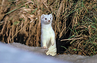 Ermine, stoat or short-tailed weasel (Mustela erminea) with winter coat