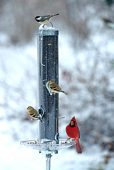 00585-02903 Northern Cardinal male, American Goldfinches & Carolina Chickadee on sunflower tube feeder in winter Marion Co.  IL