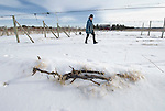 Winter covers vines at Alexis Bailly Vineyard near Hastings, Minnesota