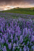 Lupin, Fog, Williams Ridge, Redwood National Park, California