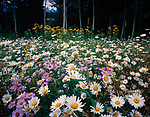 Field of Flowers,San Juan Range,Colorado