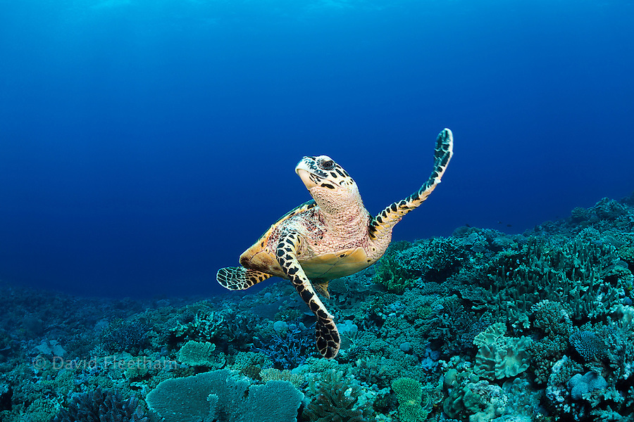 A hawksbill turtle, Eretmochelys imbricata, at Turtle Alley off the island of Kandavu, Fiji.