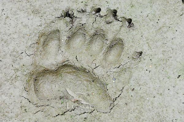 Black Bear  (Ursus americanus) track (front foot) in mud along pond edge.  Western U.S., summer.