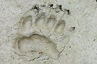 Black Bear  (Ursus americanus) track (front foot) in mud along pond edge.  Western U.S., summer.