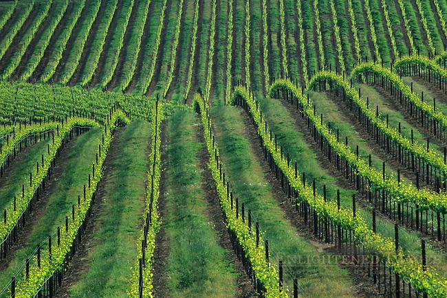 Vineyard in spring, (detail) Westside Road, near Healdsburg, Sonoma County, California
