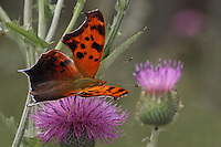 Eastern Comma Butterfly doing the thistle &quot;Two-Step&quot; :)<br />