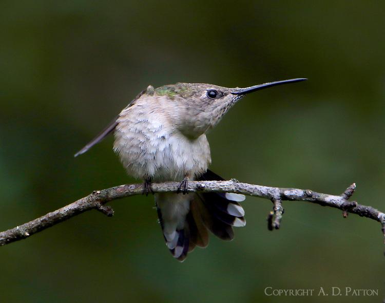 Female black-chinned hummingbird stretching