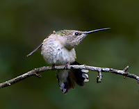 Female black-chinned hummingbird stretching