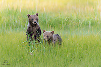 Lucky to view two mother Brown Bears (Ursus arctos) with spring cubs in 2014.  Only saw these little bears a couple times, but they always proved active and entertaining.