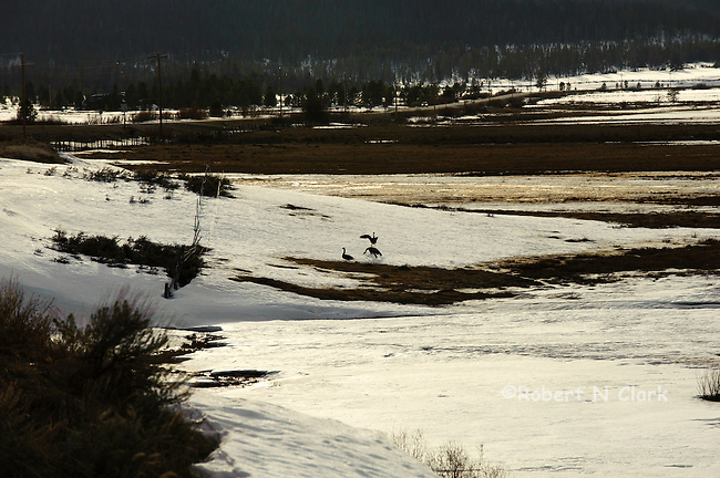 Geese in the spring fighting over nesting sites, in the Valley Creek area near Stanley, Idaho
