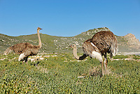 African Ostriches (Struthio camelus) foraging next to beach near Cape of Good Hope, Western Cape Province, South Africa