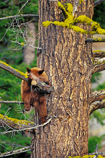 Black Bear cub (yearling) resting on tree branch in douglas fir tree.