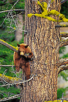 Black Bear cub (yearling) resting on tree branch in douglas fir tree.