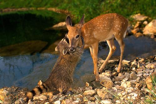 A2567x-Deer-friends.jpg
