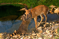 Raccoon, P. Locomotor, and fawn pause for a hug beside lake
