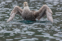 Preening in the water