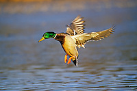 Mallard duck drake landing on pond.  Fall.  Western U.S.