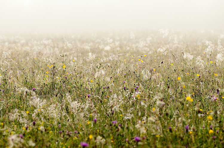 Superb traditional hay meadow - Clattinger farm, Wiltshire. This habitat has been reduced in the UK through intensified farming by 98% since the second world war and is highly endangered.