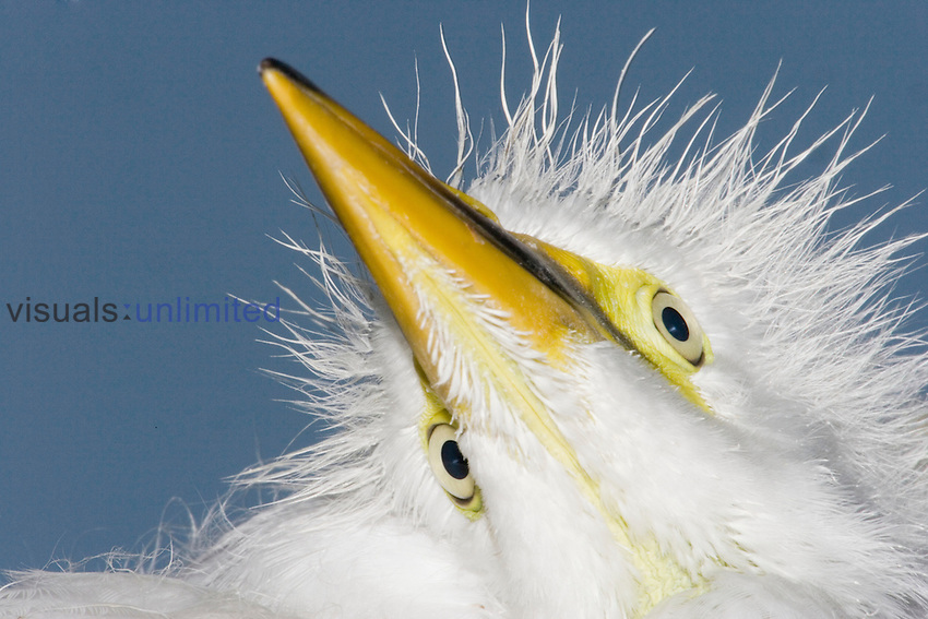 Close-up of Great Egret chick head (Ardea alba), Southern USA.
