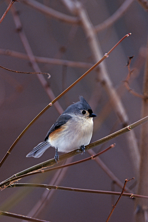 A Tufted Titmouse perches on a twig in Berea area of the Cleveland, Ohio Metroparks