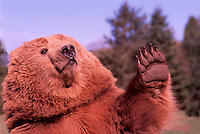 Kodiak Bear aka Alaskan Grizzly Bear and Alaska Brown Bear (Ursus arctos middendorffi) waving Paw