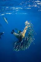 California sea lions, Zalophus californianus, feeding on a baitball of sardines or pilchards, Sardinops sagax, off Baja California, Mexico (Eastern Pacific Ocean)