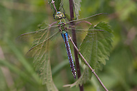 Große Königslibelle, Grosse Königs-Libelle, Männchen, Anax imperator, Emperor Dragonfly, L´Anax empereur