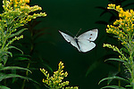Small White Butterfly, Artogeia rapae, adult in flight over yellow flowers, flying, wings high speed photographic  flash technique.United Kingdom....